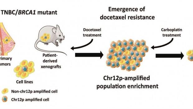 ep relacionanamplificacionuna region cromosomicala resistenciaun farmacocancermama