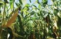corn, field, farm