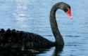 cb cisne negro 344 sh1