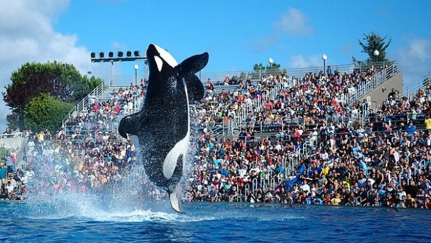 orcas seaworld